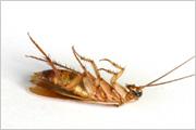 lyon cafard lutte contre les blattes. Black Bedroom Furniture Sets. Home Design Ideas